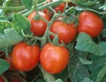 Large Red Cherry Tomatoes